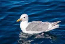 One Seagull Swimming In Ocean ...