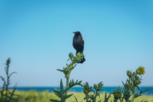 Red-winged Blackbird Facing Left, Perched Atop A Sunflower Plant Set Against A Bright Blue Sky