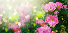 Mysterious Fairy Tale Spring Floral Banner With Fabulous Blooming Pink Rose Flowers In Summer Garden On Blurred Green Sunny Bright Shiny Glowing Background With Shining Light Bokeh And Copy Space