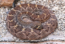 Mojave Rattlesnake Also Known ...