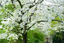 White Dogwood Flower Tree In B...