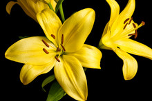 Group Of Yellow Lily Flowers On Black Background