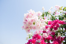 Bougainvillea With Blue Sky Background