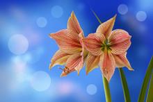 Flower Hippeastrum (amaryllis)...
