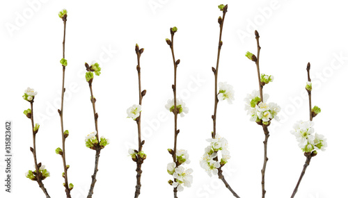 Fotografía Spring cherry blossoms flowers on branch isolated on white background with clipp