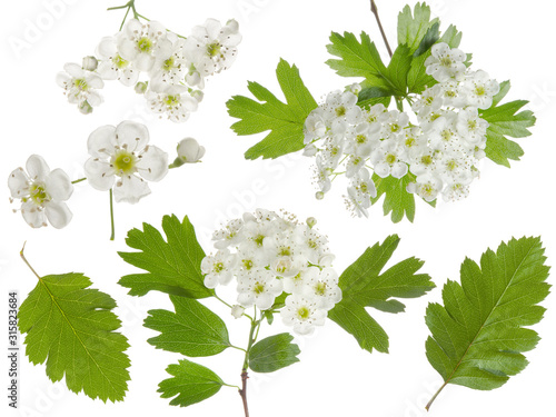 Obraz na plátně Hawthorn spring flowers bunch and green leaf isolated on white background