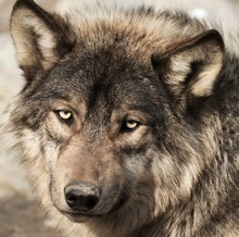 Muzzle Of A Gray Wolf Looking ...
