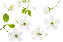 Cherry Flower Isolated On Whit...