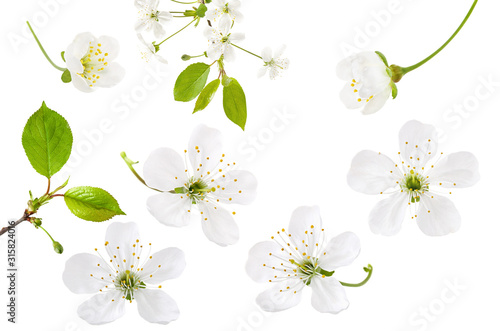 Fotografie, Obraz Cherry flower isolated on white background