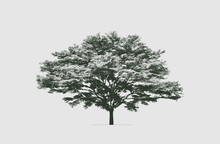 Terminalia Ivorensis Tree In Silhouette. The High Contrast Style, Vector File