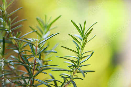 Photo Organic rosemary plant growing in the garden for extracts essential oil / Fresh