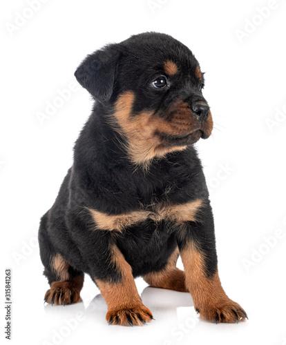 puppy rottweiler in studio Canvas Print