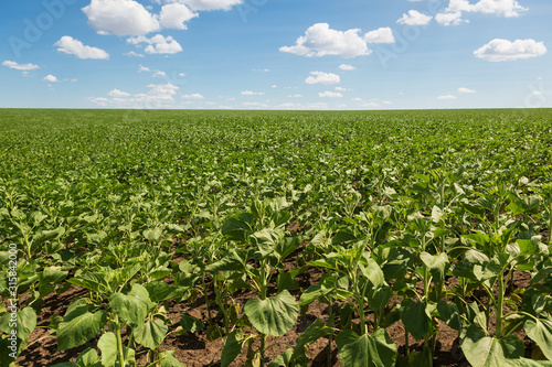 field of young green sunflower and blue sky with clouds
