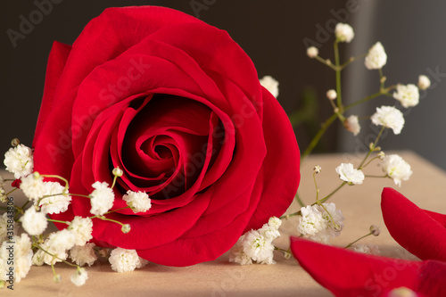 Close up of blooming red rose flower and branch with small white flowers.