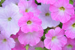 canvas print picture - Soft purple Petunia flowers blooming