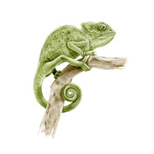 Green Panter Chameleon On The Branch Watercolor Illustration. Hand Drawn  Exotic Lizard Close Up Image. Beautiful Tropical Reptile Real Illustration Isolated On White Background.