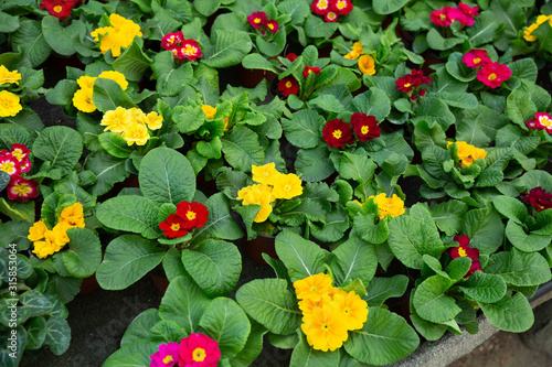 Obraz Flowering primula plants growing in pots - fototapety do salonu