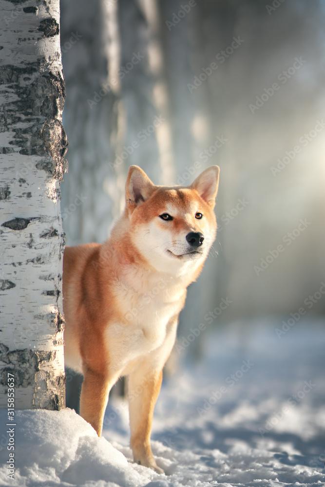 Fototapeta Shiba Inu dog in winter
