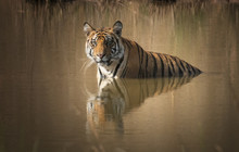 Tiger Relaxing In The Pool Of ...