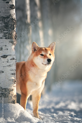 Fototapeta Shiba Inu dog in winter obraz