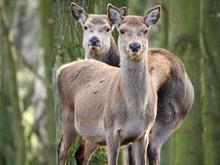Two Red Deer (Cervus Elaphus) ...