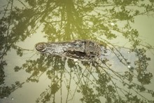Siamese Crocodile (Crocodylus ...