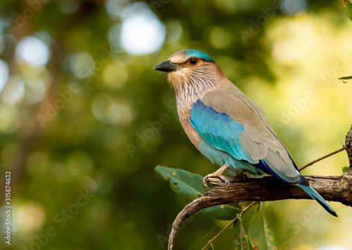 Photo An Indian roller perched in Bandhavgarah National Park, India