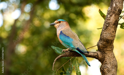An Indian roller perched in Bandhavgarah National Park, India. The bird was formerly locally called the Blue Jay. It is a member of the roller family of birds.