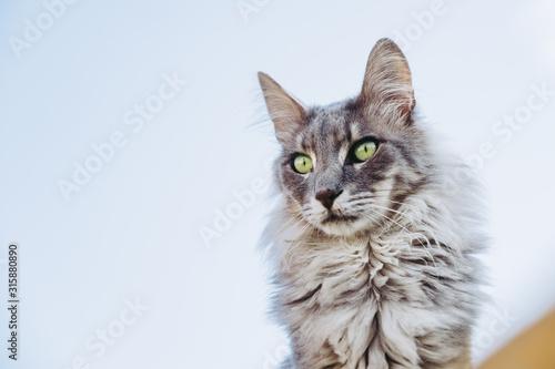 Portrait d'un chat angora main coon Canvas Print
