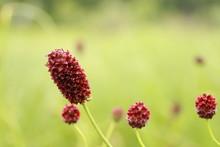 Great Burnet. Burgundy Flower ...