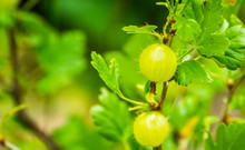 Gooseberries On A Gooseberry P...