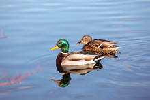 Pair Of Mallard Ducks Swimming In Water. Wildlife, Male Defends The Female.