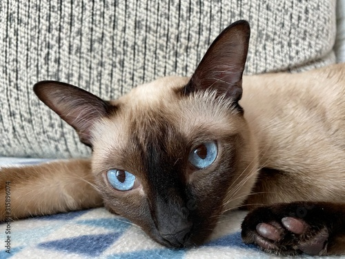 Fotografía The blue eyes of siamese cat scouting you in Thailand