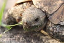 Leopard Tortoise Head Closeup, In The Savanna.