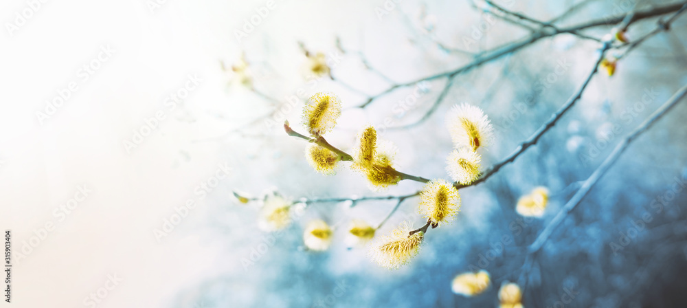 Fototapeta Blooming fluffy willow branches in spring close-up on nature macro with soft focus on a light background. Toning in blue color.