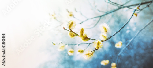 Obraz Blooming fluffy willow branches in spring close-up on nature macro with soft focus on a light background. Toning in blue color. - fototapety do salonu