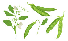 Green Peas In Pods Isolated On White Background Vector Set