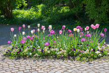Bright Flower Bed With White And Purple Tulips And Viola Flowers In A Park
