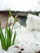 White Crocus Sprouted Through ...