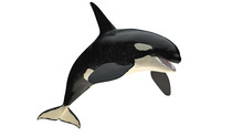 Isolated Killer Whale Orca Open Mouth Jumping View On White Background Cutout Ready 3d Rendering
