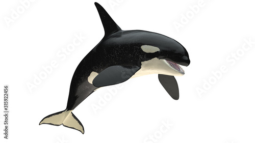 Obraz na plátně Isolated killer whale orca open mouth jumping view on white background cutout re