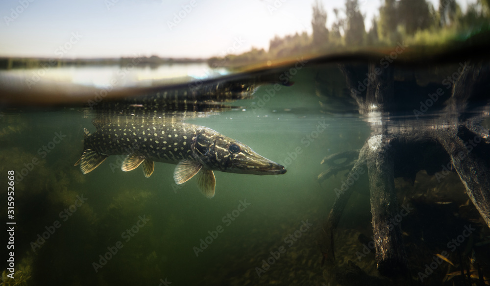 Fototapeta Fishing background. Underwater Pike predator.