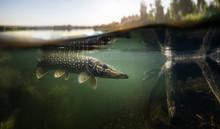 Fishing Background. Underwater Pike Predator.