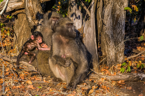 Kruger National Park, South Africa- JULY 2019: Chacma baboon family (Paplo ursinus) in african savanna Wallpaper Mural