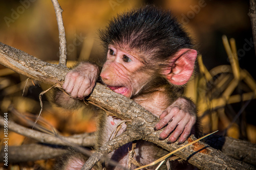 Photo Kruger National Park, South Africa- JULY 2019: Chacma baboon baby (Paplo ursinus) in african savanna