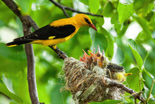 Male Golden Oriole, Oriolus Oriolus, Parenting In Green Nature In Summertime. Passerine Bird With Nest Full Of Little Hatchlings Sitting In Proximity.