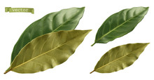 Bay Leaf. 3d Realistic Vector