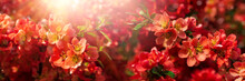 Banner 3:1. Close-up Red Flowers Of Chaenomeles Japonica Shrub (Japanese Quince Or Maule's Quince). Spring Background. Copy Space. Soft Focus