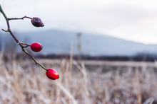 Eglantine Fruit On A Branch Of...