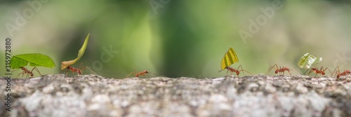 Photo Leaf cutter ants marching to nest carrying sections of leaves